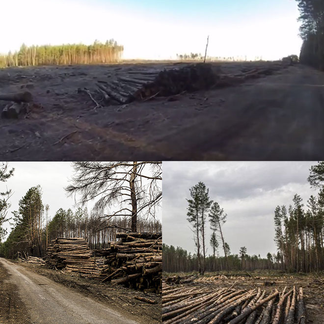 Illegal commercial logging of Pine logs at Chernobyl